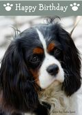 Cavalier King Charles Spaniel-Happy Birthday (No Theme)